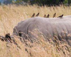4 CONSERVATION AND BREEDING - 4d - OXPECKER INTRODUCTION 2 DJG Dabchick 100-17