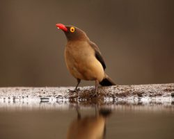 4 CONSERVATION AND BREEDING - 4d - OXPECKER INTRODUCTION 3
